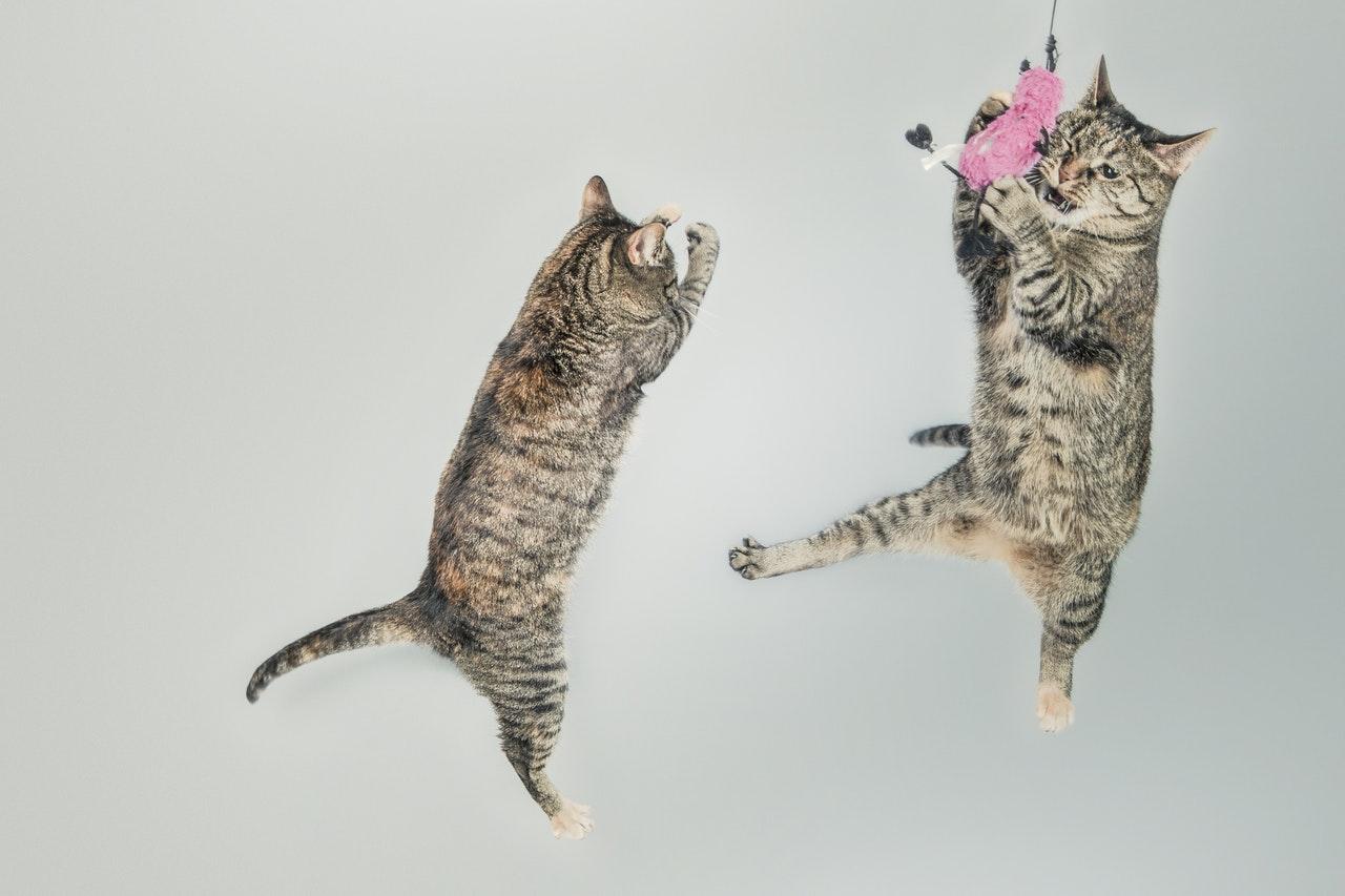 Katter som leker