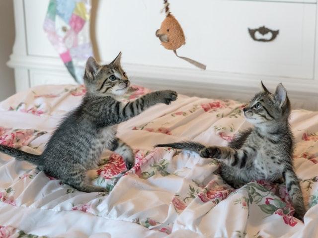 Två kattungar leker